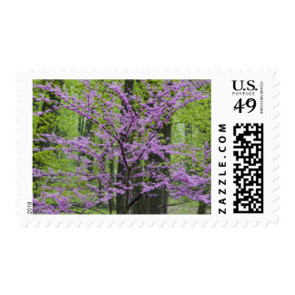 Redbud trees in full spring bloom near Defiance Postage Stamp