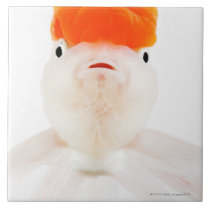Redcap lionhead goldfish (Carassius auratus) Tile