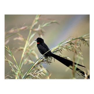Redcollared Widow Bird Postcard
