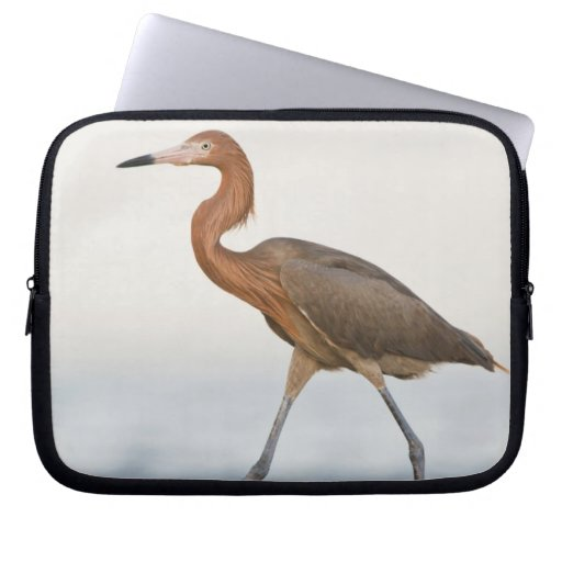 Reddish Egret adult hunting in bay, Texas Laptop Computer Sleeves