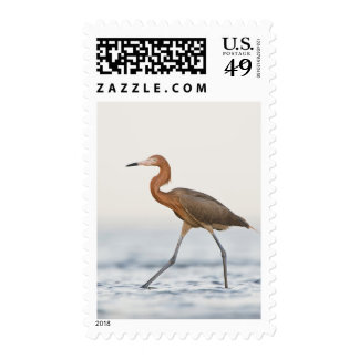 Reddish Egret adult hunting in bay, Texas Postage Stamp