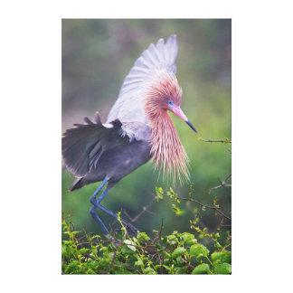 Reddish Egret Egretta Rufescens Adult Canvas Prints