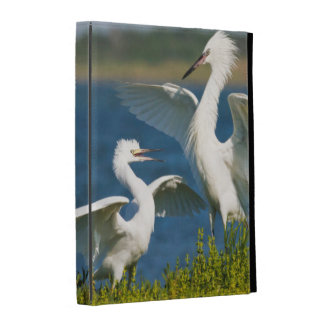 Reddish Egret (Egretta Rufescens) Adult Feeding iPad Cases