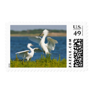 Reddish Egret (Egretta Rufescens) Adult Feeding Postage