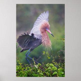 Reddish Egret Egretta Rufescens Adult Poster
