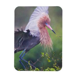 Reddish Egret (Egretta Rufescens) Adult Rectangular Photo Magnet