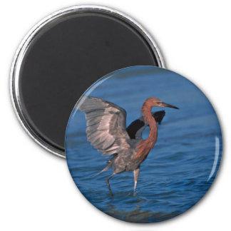 Reddish Egret Photo Magnet