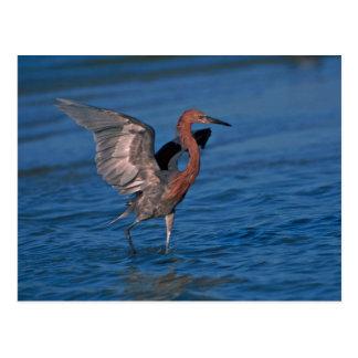 Reddish Egret Photo Postcard