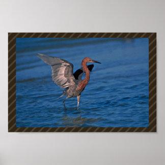Reddish Egret Photo Posters