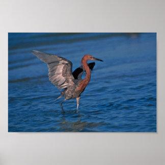 Reddish Egret Photo Poster