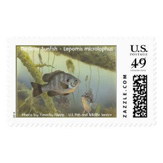 Redear Sunfish - Lepomis microlophus Postage Stamp