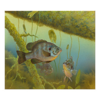 Redear Sunfish Lepomis Microlophus Timothy Knepp Poster