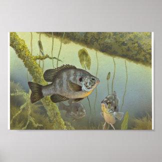 Redear Sunfish Poster