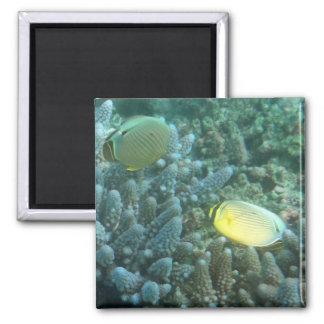 Redfin Butterflyfish (Chaetodon lunulatus) 2 Inch Square Magnet