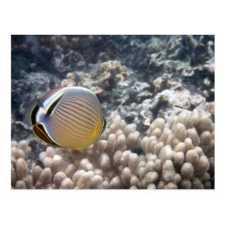 Redfin Butterflyfish (Chaetodon lunulatus) Postcard
