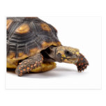 Redfoot Turtle Gifts Post Cards
