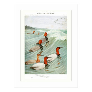 Redhead and Canvasback ducks Postcard