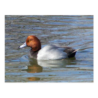 Redhead Drake Postcard