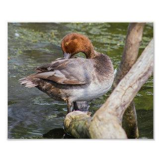 Redhead Duck Print Photo