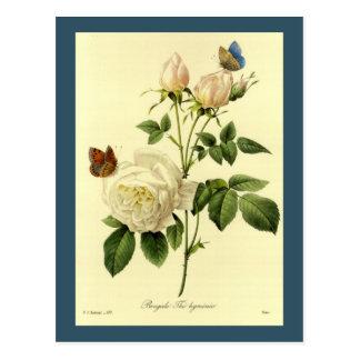 Redoute Illustration Bengal Rose Hymanee Postcard