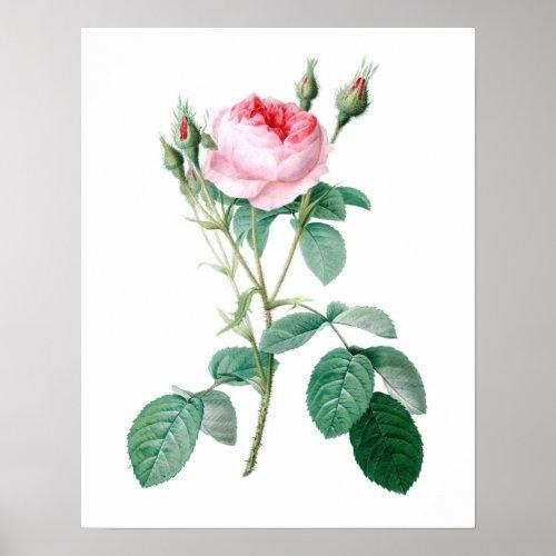 Redoute Les Rose Pink Rose Botanical Art Print #1
