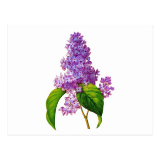 Redoute Lilacs Postcard