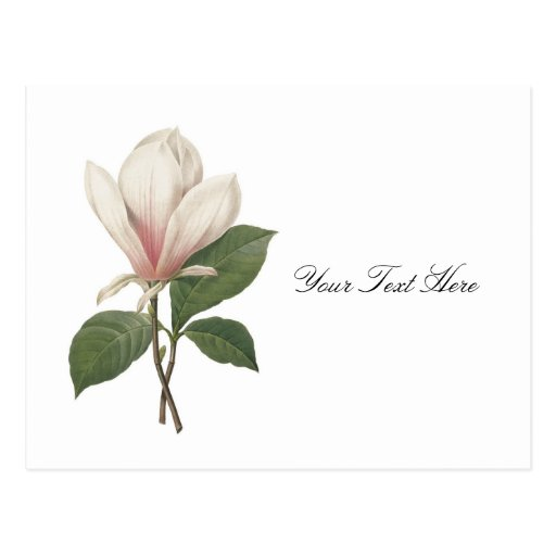 Redoute Magnolia Post Cards