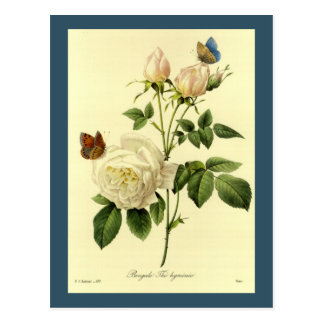 Redoute Print: 'Bengal Rose Hymanee' Post Cards