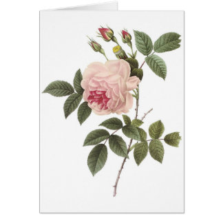 Redoute Rose 2 Card