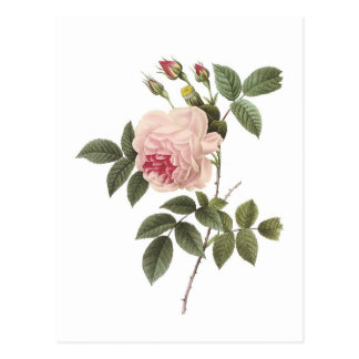 Redoute Rose 2 Postcard