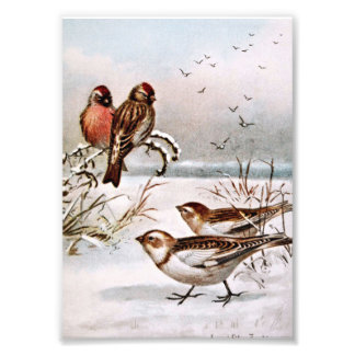 Redpoll and Snowflake Birds Photo Print