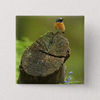 Redstart (Phoenicurus phoenicurus) on fallen Button