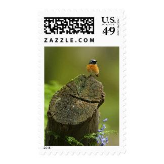 Redstart (Phoenicurus phoenicurus) on fallen Postage