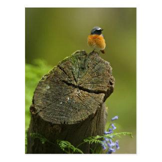 Redstart (Phoenicurus phoenicurus) on fallen Postcards