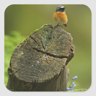 Redstart (Phoenicurus phoenicurus) on fallen Square Sticker