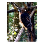 Redtail Hawk on Branch Postcard