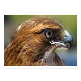 Redtail Hawk Postcard