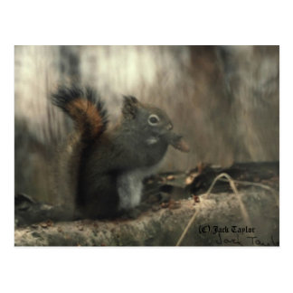 Redtail Squirrel 01 Post Card