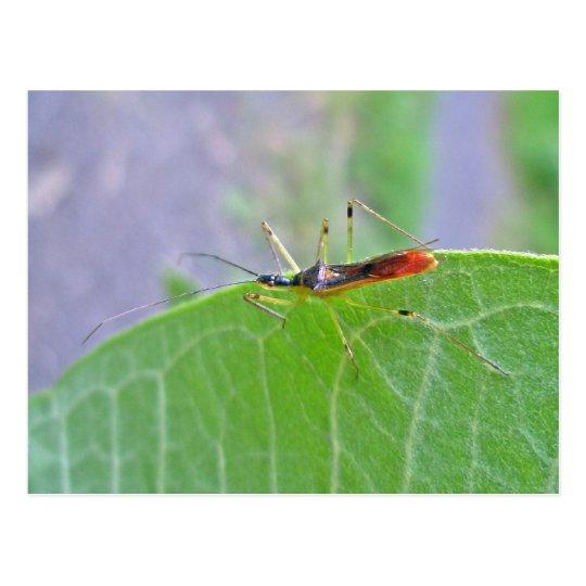 Reduviid Assassin Bug Postcard