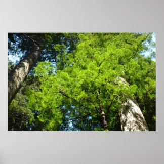 Redwood Boughs in Redwood National Park Poster