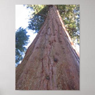 Redwood in CA poster