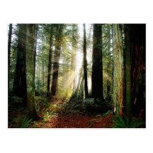 Redwood Morning Post Card