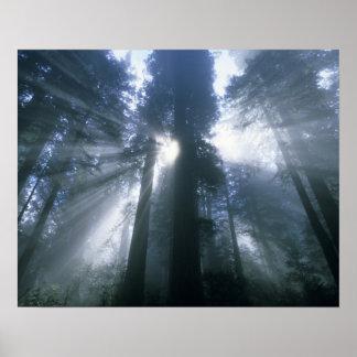 Redwood National Park, Del Norte County, foggy Poster