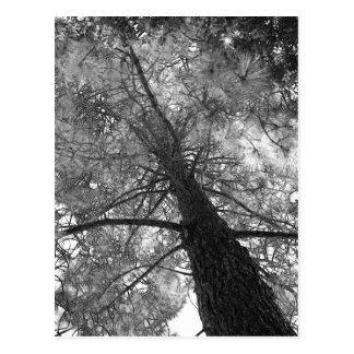 Redwood Tree Black and White Postcard