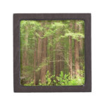 Redwood Trees at Muir Woods National Monument Jewelry Box