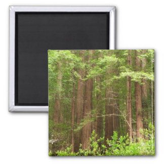 Redwood Trees at Muir Woods National Monument 2 Inch Square Magnet