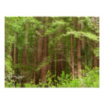Redwood Trees at Muir Woods National Monument Poster