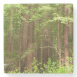 Redwood Trees at Muir Woods National Monument Stone Coaster