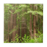 Redwood Trees at Muir Woods National Monument Tile