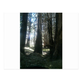 Redwood Trees By Bernadette Sebastiani Postcard